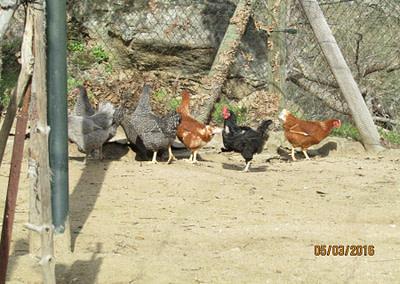Gallinas en la granja escuela